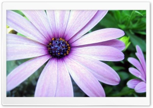 Purple Cape Daisy HD Wide Wallpaper for Widescreen