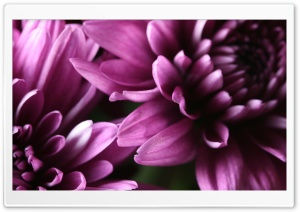 Purple Chrysanthemum HD Wide Wallpaper for Widescreen