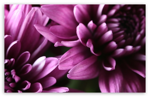 Purple Chrysanthemum HD wallpaper for Wide 16:10 5:3 Widescreen WHXGA WQXGA WUXGA WXGA WGA ; HD 16:9 High Definition WQHD QWXGA 1080p 900p 720p QHD nHD ; Standard 4:3 5:4 3:2 Fullscreen UXGA XGA SVGA QSXGA SXGA DVGA HVGA HQVGA devices ( Apple PowerBook G4 iPhone 4 3G 3GS iPod Touch ) ; iPad 1/2/Mini ; Mobile 4:3 5:3 3:2 16:9 5:4 - UXGA XGA SVGA WGA DVGA HVGA HQVGA devices ( Apple PowerBook G4 iPhone 4 3G 3GS iPod Touch ) WQHD QWXGA 1080p 900p 720p QHD nHD QSXGA SXGA ;