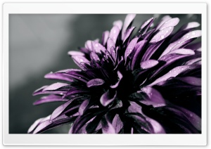 Purple Chrysanthemum Macro HD Wide Wallpaper for Widescreen