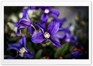Purple Clematis Flowers Ultra HD Wallpaper for 4K UHD Widescreen desktop, tablet & smartphone