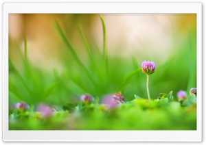 Purple Clover Flowers Macro HD Wide Wallpaper for Widescreen