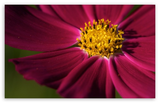 Purple Cosmos Flower ❤ 4K UHD Wallpaper for Wide 16:10 5:3 Widescreen WHXGA WQXGA WUXGA WXGA WGA ; 4K UHD 16:9 Ultra High Definition 2160p 1440p 1080p 900p 720p ; UHD 16:9 2160p 1440p 1080p 900p 720p ; Standard 4:3 5:4 3:2 Fullscreen UXGA XGA SVGA QSXGA SXGA DVGA HVGA HQVGA ( Apple PowerBook G4 iPhone 4 3G 3GS iPod Touch ) ; Tablet 1:1 ; iPad 1/2/Mini ; Mobile 4:3 5:3 3:2 16:9 5:4 - UXGA XGA SVGA WGA DVGA HVGA HQVGA ( Apple PowerBook G4 iPhone 4 3G 3GS iPod Touch ) 2160p 1440p 1080p 900p 720p QSXGA SXGA ;