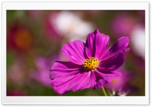 Purple Cosmos Flower HD Wide Wallpaper for Widescreen