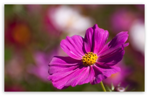 Purple Cosmos Flower ❤ 4K UHD Wallpaper for Wide 16:10 5:3 Widescreen WHXGA WQXGA WUXGA WXGA WGA ; 4K UHD 16:9 Ultra High Definition 2160p 1440p 1080p 900p 720p ; Standard 4:3 5:4 3:2 Fullscreen UXGA XGA SVGA QSXGA SXGA DVGA HVGA HQVGA ( Apple PowerBook G4 iPhone 4 3G 3GS iPod Touch ) ; Tablet 1:1 ; iPad 1/2/Mini ; Mobile 4:3 5:3 3:2 16:9 5:4 - UXGA XGA SVGA WGA DVGA HVGA HQVGA ( Apple PowerBook G4 iPhone 4 3G 3GS iPod Touch ) 2160p 1440p 1080p 900p 720p QSXGA SXGA ;