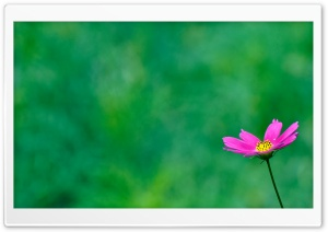 Purple Cosmos Flower On A Green Background HD Wide Wallpaper for Widescreen