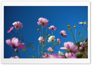 Purple Cosmos Flowers, Blue Sky HD Wide Wallpaper for Widescreen