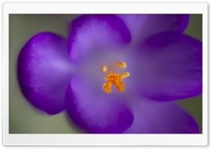 Purple Crocus HD Wide Wallpaper for Widescreen