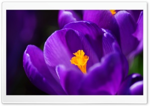 Purple Crocus HD Wide Wallpaper for 4K UHD Widescreen desktop & smartphone