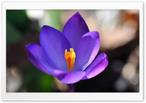 Purple Crocus Flower Closeup HD Wide Wallpaper for Widescreen