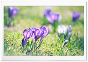 Purple Crocuses HD Wide Wallpaper for Widescreen