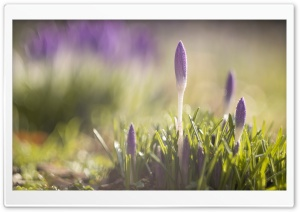 Purple Crocuses Flowers, Spring HD Wide Wallpaper for Widescreen