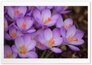 Purple Crocuses Macro HD Wide Wallpaper for Widescreen