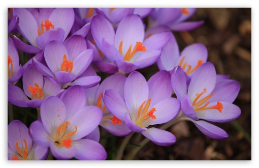 Purple Crocuses Macro HD wallpaper for Wide 16:10 5:3 Widescreen WHXGA WQXGA WUXGA WXGA WGA ; HD 16:9 High Definition WQHD QWXGA 1080p 900p 720p QHD nHD ; UHD 16:9 WQHD QWXGA 1080p 900p 720p QHD nHD ; Standard 4:3 5:4 3:2 Fullscreen UXGA XGA SVGA QSXGA SXGA DVGA HVGA HQVGA devices ( Apple PowerBook G4 iPhone 4 3G 3GS iPod Touch ) ; Smartphone 5:3 WGA ; Tablet 1:1 ; iPad 1/2/Mini ; Mobile 4:3 5:3 3:2 16:9 5:4 - UXGA XGA SVGA WGA DVGA HVGA HQVGA devices ( Apple PowerBook G4 iPhone 4 3G 3GS iPod Touch ) WQHD QWXGA 1080p 900p 720p QHD nHD QSXGA SXGA ; Dual 16:10 5:3 16:9 4:3 5:4 WHXGA WQXGA WUXGA WXGA WGA WQHD QWXGA 1080p 900p 720p QHD nHD UXGA XGA SVGA QSXGA SXGA ;