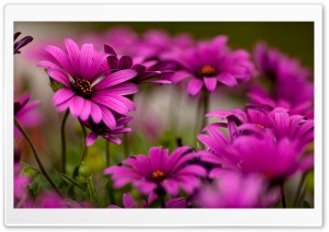Purple Daisies HD Wide Wallpaper for 4K UHD Widescreen desktop & smartphone