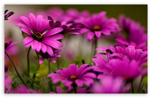 Purple Daisies HD wallpaper for Wide 16:10 5:3 Widescreen WHXGA WQXGA WUXGA WXGA WGA ; HD 16:9 High Definition WQHD QWXGA 1080p 900p 720p QHD nHD ; Standard 4:3 5:4 3:2 Fullscreen UXGA XGA SVGA QSXGA SXGA DVGA HVGA HQVGA devices ( Apple PowerBook G4 iPhone 4 3G 3GS iPod Touch ) ; Tablet 1:1 ; iPad 1/2/Mini ; Mobile 4:3 5:3 3:2 16:9 5:4 - UXGA XGA SVGA WGA DVGA HVGA HQVGA devices ( Apple PowerBook G4 iPhone 4 3G 3GS iPod Touch ) WQHD QWXGA 1080p 900p 720p QHD nHD QSXGA SXGA ; Dual 16:10 5:3 16:9 4:3 5:4 WHXGA WQXGA WUXGA WXGA WGA WQHD QWXGA 1080p 900p 720p QHD nHD UXGA XGA SVGA QSXGA SXGA ;