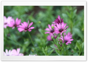 Purple Daisies HD Wide Wallpaper for Widescreen