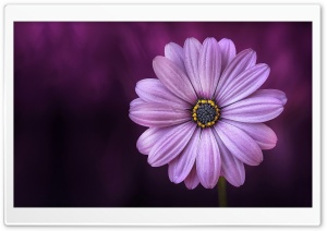 Purple Daisy Flower HD Wide Wallpaper for 4K UHD Widescreen desktop & smartphone