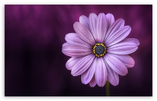 Purple Daisy Flower Ultra Hd Desktop Background Wallpaper For 4k Uhd Tv Widescreen Ultrawide Desktop Laptop Tablet Smartphone