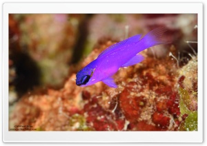 Purple Fish HD Wide Wallpaper for Widescreen
