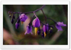 Purple Flower Ultra HD Wallpaper for 4K UHD Widescreen desktop, tablet & smartphone