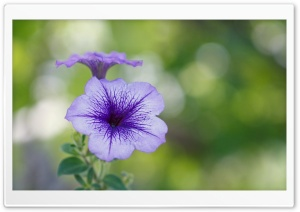 Purple Flower Bokeh HD Wide Wallpaper for Widescreen