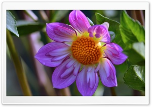 Purple Flower Close Up HD Wide Wallpaper for Widescreen