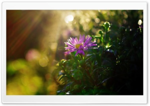 Purple Flower in Sun Rays HD Wide Wallpaper for Widescreen