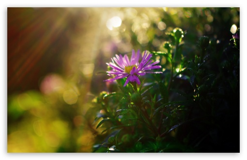 Purple Flower in Sun Rays HD wallpaper for Wide 16:10 5:3 Widescreen WHXGA WQXGA WUXGA WXGA WGA ; HD 16:9 High Definition WQHD QWXGA 1080p 900p 720p QHD nHD ; Standard 4:3 5:4 3:2 Fullscreen UXGA XGA SVGA QSXGA SXGA DVGA HVGA HQVGA devices ( Apple PowerBook G4 iPhone 4 3G 3GS iPod Touch ) ; Tablet 1:1 ; iPad 1/2/Mini ; Mobile 4:3 5:3 3:2 16:9 5:4 - UXGA XGA SVGA WGA DVGA HVGA HQVGA devices ( Apple PowerBook G4 iPhone 4 3G 3GS iPod Touch ) WQHD QWXGA 1080p 900p 720p QHD nHD QSXGA SXGA ;