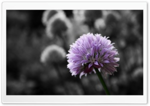 Purple Flower On Black And White Background HD Wide Wallpaper for Widescreen