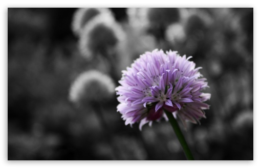 Purple Flower On Black And White Background HD wallpaper for Wide 16:10 5:3 Widescreen WHXGA WQXGA WUXGA WXGA WGA ; HD 16:9 High Definition WQHD QWXGA 1080p 900p 720p QHD nHD ; Standard 4:3 5:4 3:2 Fullscreen UXGA XGA SVGA QSXGA SXGA DVGA HVGA HQVGA devices ( Apple PowerBook G4 iPhone 4 3G 3GS iPod Touch ) ; Tablet 1:1 ; iPad 1/2/Mini ; Mobile 4:3 5:3 3:2 16:9 5:4 - UXGA XGA SVGA WGA DVGA HVGA HQVGA devices ( Apple PowerBook G4 iPhone 4 3G 3GS iPod Touch ) WQHD QWXGA 1080p 900p 720p QHD nHD QSXGA SXGA ; Dual 4:3 5:4 UXGA XGA SVGA QSXGA SXGA ;