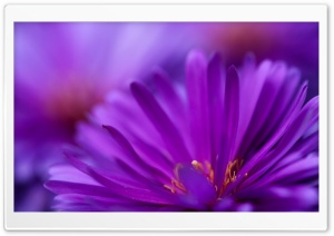 Purple Flower Petals HD Wide Wallpaper for Widescreen