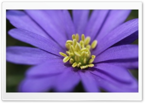 Purple Flower With Yellow Stamens HD Wide Wallpaper for Widescreen