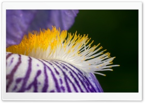 Purple Flower, Yellow Filaments, Macro HD Wide Wallpaper for Widescreen