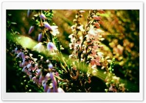 Purple Flowerfield HD Wide Wallpaper for Widescreen