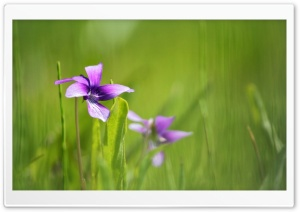 Purple Flowers Growing In Grass HD Wide Wallpaper for 4K UHD Widescreen desktop & smartphone
