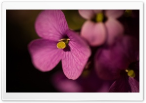 Purple Flowers Macro HD Wide Wallpaper for Widescreen