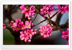 Purple Flowers On A Tree HD Wide Wallpaper for Widescreen