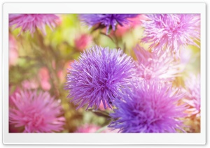 Purple Fluffy Flowers HD Wide Wallpaper for Widescreen