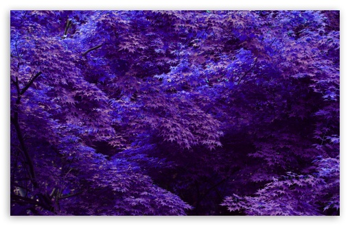 Purple Forest HD wallpaper for Wide 16:10 5:3 Widescreen WHXGA WQXGA WUXGA WXGA WGA ; HD 16:9 High Definition WQHD QWXGA 1080p 900p 720p QHD nHD ; Standard 4:3 5:4 3:2 Fullscreen UXGA XGA SVGA QSXGA SXGA DVGA HVGA HQVGA devices ( Apple PowerBook G4 iPhone 4 3G 3GS iPod Touch ) ; Tablet 1:1 ; iPad 1/2/Mini ; Mobile 4:3 5:3 3:2 16:9 5:4 - UXGA XGA SVGA WGA DVGA HVGA HQVGA devices ( Apple PowerBook G4 iPhone 4 3G 3GS iPod Touch ) WQHD QWXGA 1080p 900p 720p QHD nHD QSXGA SXGA ;