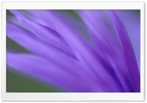 Purple Frond HD Wide Wallpaper for Widescreen