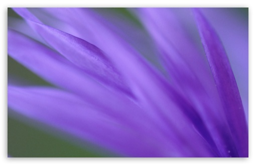 Purple Frond UltraHD Wallpaper for Wide 16:10 5:3 Widescreen WHXGA WQXGA WUXGA WXGA WGA ; 8K UHD TV 16:9 Ultra High Definition 2160p 1440p 1080p 900p 720p ; Standard 4:3 5:4 3:2 Fullscreen UXGA XGA SVGA QSXGA SXGA DVGA HVGA HQVGA ( Apple PowerBook G4 iPhone 4 3G 3GS iPod Touch ) ; iPad 1/2/Mini ; Mobile 4:3 5:3 3:2 16:9 5:4 - UXGA XGA SVGA WGA DVGA HVGA HQVGA ( Apple PowerBook G4 iPhone 4 3G 3GS iPod Touch ) 2160p 1440p 1080p 900p 720p QSXGA SXGA ;