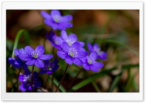 Purple Hepatica Spring Flowers Macro HD Wide Wallpaper for 4K UHD Widescreen desktop & smartphone