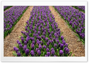 Purple Hyacinth Field, Spring Ultra HD Wallpaper for 4K UHD Widescreen desktop, tablet & smartphone