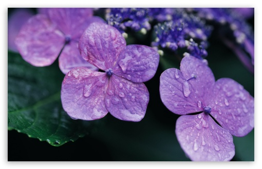 Purple Hydrangea HD wallpaper for Wide 16:10 5:3 Widescreen WHXGA WQXGA WUXGA WXGA WGA ; HD 16:9 High Definition WQHD QWXGA 1080p 900p 720p QHD nHD ; Standard 4:3 5:4 3:2 Fullscreen UXGA XGA SVGA QSXGA SXGA DVGA HVGA HQVGA devices ( Apple PowerBook G4 iPhone 4 3G 3GS iPod Touch ) ; iPad 1/2/Mini ; Mobile 4:3 5:3 3:2 16:9 5:4 - UXGA XGA SVGA WGA DVGA HVGA HQVGA devices ( Apple PowerBook G4 iPhone 4 3G 3GS iPod Touch ) WQHD QWXGA 1080p 900p 720p QHD nHD QSXGA SXGA ;