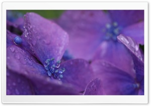 Purple Hydrangea Flower Macro HD Wide Wallpaper for 4K UHD Widescreen desktop & smartphone