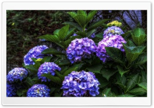 Purple Hydrangea HDR HD Wide Wallpaper for Widescreen