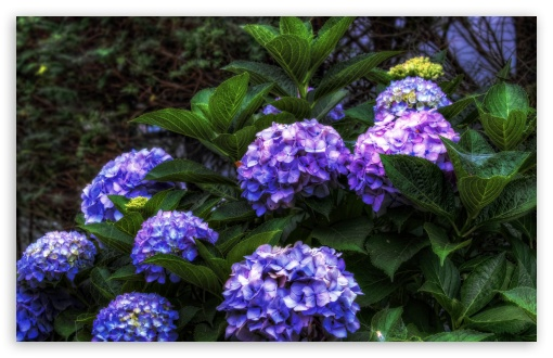 Purple Hydrangea HDR HD wallpaper for Wide 16:10 5:3 Widescreen WHXGA WQXGA WUXGA WXGA WGA ; HD 16:9 High Definition WQHD QWXGA 1080p 900p 720p QHD nHD ; UHD 16:9 WQHD QWXGA 1080p 900p 720p QHD nHD ; Standard 4:3 5:4 3:2 Fullscreen UXGA XGA SVGA QSXGA SXGA DVGA HVGA HQVGA devices ( Apple PowerBook G4 iPhone 4 3G 3GS iPod Touch ) ; Tablet 1:1 ; iPad 1/2/Mini ; Mobile 4:3 5:3 3:2 16:9 5:4 - UXGA XGA SVGA WGA DVGA HVGA HQVGA devices ( Apple PowerBook G4 iPhone 4 3G 3GS iPod Touch ) WQHD QWXGA 1080p 900p 720p QHD nHD QSXGA SXGA ; Dual 16:10 5:3 16:9 4:3 5:4 WHXGA WQXGA WUXGA WXGA WGA WQHD QWXGA 1080p 900p 720p QHD nHD UXGA XGA SVGA QSXGA SXGA ;
