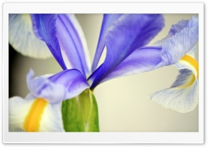 Purple Iris Flower HD Wide Wallpaper for Widescreen