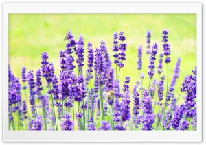 Purple Lavender HD Wide Wallpaper for Widescreen
